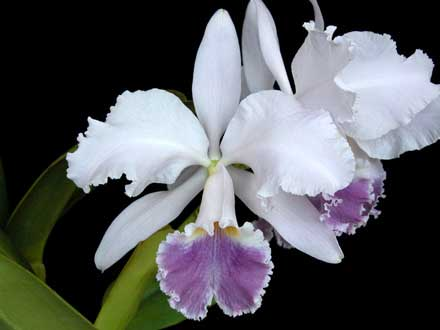 Cattleya gaskelliana coerulea (11-1) x Cattleya warneri coerulea 'Renata Dihel'