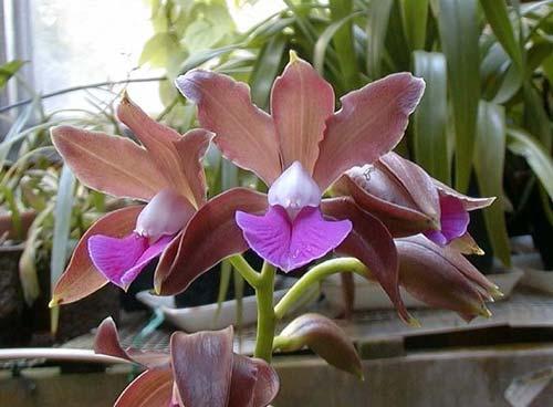 Cattleya grossii