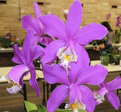 Cattleya harrisoniae
