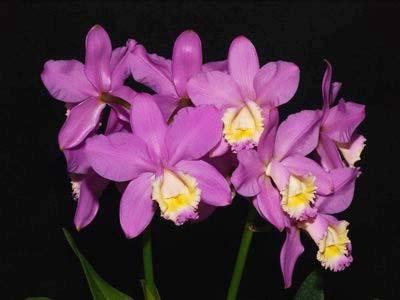 Cattleya harrisoniana clara 'Formosinha' x Cattleya harrisoniana escura 'Cheung's Delight'