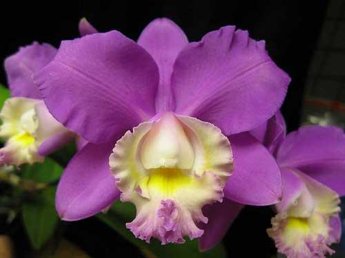 Cattleya harrisoniana 'Streeter's Choice'
