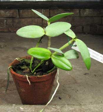 Cattleya intermedia alba 'Plana' x Cattleya intermedia alba pelorica 'AWZ'