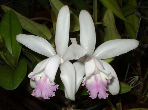 Cattleya intermedia amethystina