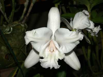 Cattleya intermedia aquini alba 'Neve' x Cattleya intermedia aquini alba 'Sublime'