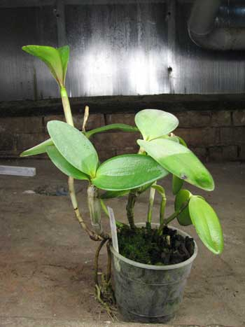 Cattleya intermedia var. orlata 'Rio'