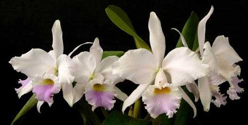 Cattleya labiata amesiana 'Bela' (Z-8) x SELF