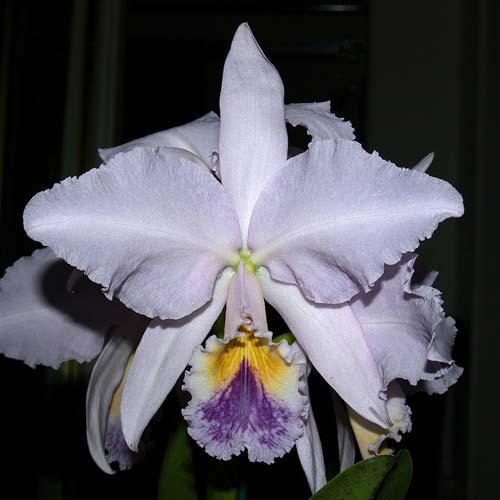 Cattleya labiata coerulea violeta 'Lourival' x Cattleya labiata coerulea 'Vera Micelli'