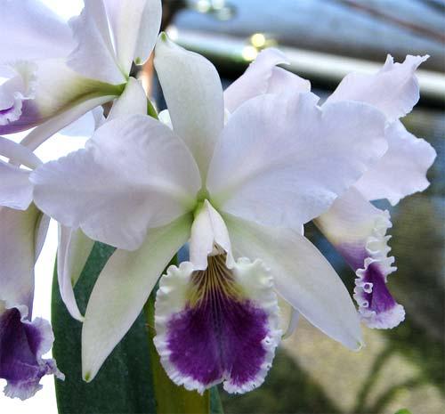 Cattleya labiata coerulea 'Z-185' XXX x Cattleya labiata coerulea 'Junior'