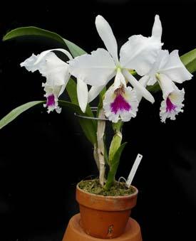 Cattleya labiata var. semi-alba 'Jeannie Shrimpton' x '#3'
