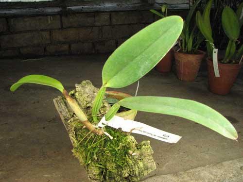 Cattleya lueddemanniana (alba 'Ricardo' x semi alba 'Eliza')