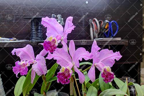 Cattleya lueddemanniana tipo 'Royal Flash' x Cattleya lueddemanniana tipo 'Drago'