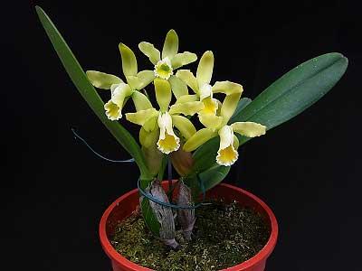 Cattleya luteola aurea 'Ouro' x SELF