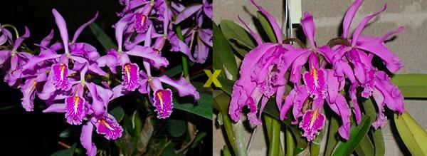 Cattleya maxima (Z-521) x Cattleya maxima rubra (Z-456)