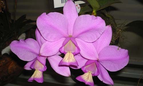 Cattleya mesquitae (C. nobilior x C. walkeriana)