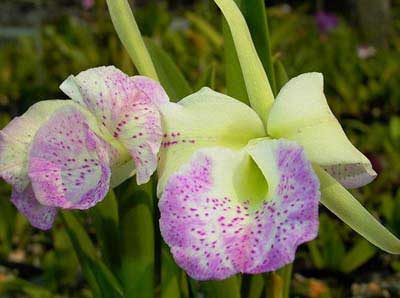 (Cattleya Moscombe x Brassavola nodosa) 'ORCHIS'