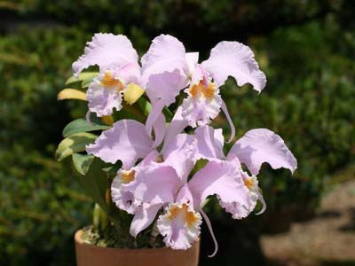 Cattleya mossiae concolor x SELF