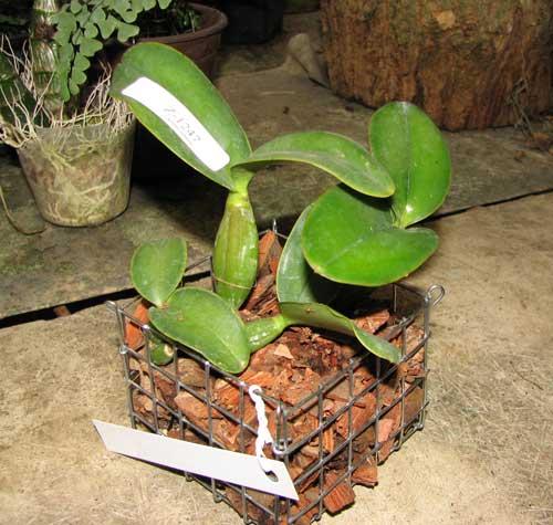 Cattleya nobilior tipo 'Rafael Wenzel' x Cattleya nobilior tipo 'Luciana'