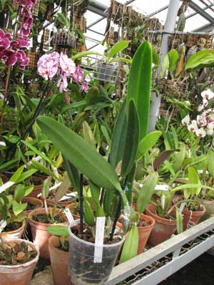 Cattleya percivaliana 'Dunkel'