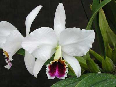 Cattleya percivaliana semi alba 'Altamira' (11-6) x percivaliana semi alba 'Carache' (06-6)
