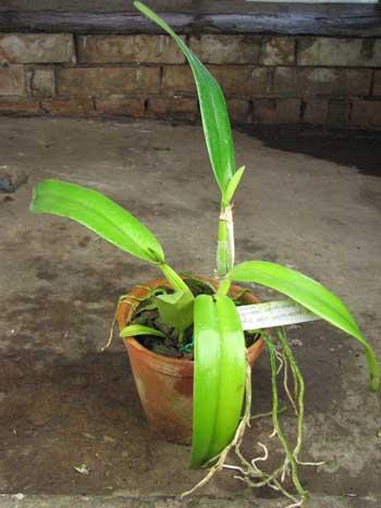 Cattleya quadricolor alba 'Esperanca' x quadricolor coerulea suave-oculata