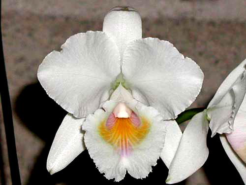 Cattleya quadricolor amesiana 'Patricia' x SELF