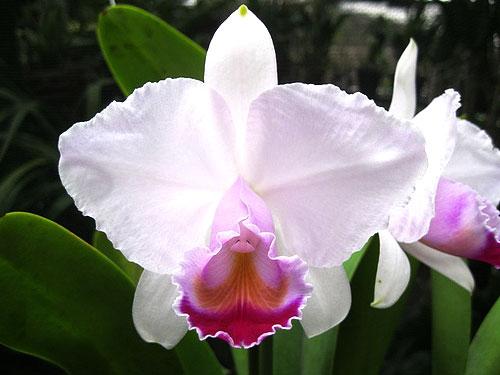Cattleya quadricolor semi alba x Cattleya quadricolor semi alba 'Pompeu'