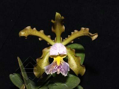 Cattleya schilleriana coerulea '1' x Cattleya schilleriana coerulea 'A'