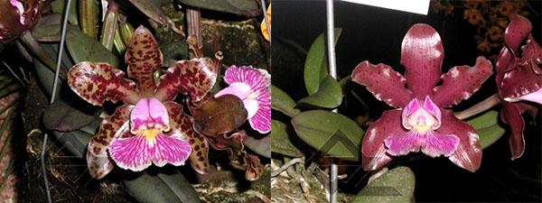 Cattleya schilleriana 'Olinda' x 'Preciosa'