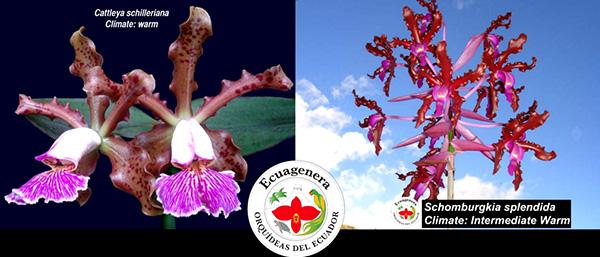 Cattleya schilleriana x Schomburgkia splendida