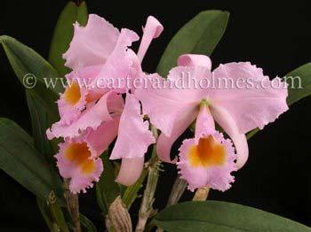 Cattleya schroderae 'Newberry' x '#2'
