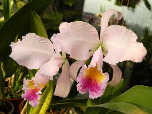 Cattleya schroederae albescens x Cattleya schroederae alba
