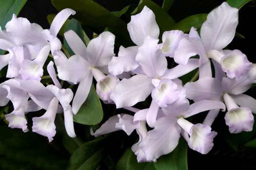 Cattleya skinnery coerulescens