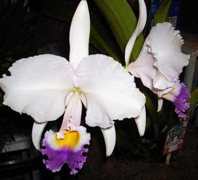Cattleya trianae alba x coerulea