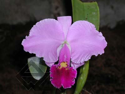 Cattleya trianae escura 'Jean Groben' (11-8) x Cattleya trianae 'Mariposa' (14-8)
