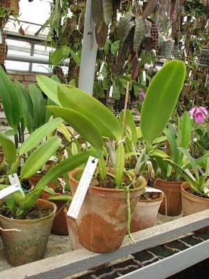 Cattleya trianae 'Fine Variety' (98-8) x Cattleya trianae orlata rosea 'AWZ'