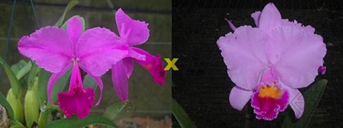 Cattleya trianae 'Sangre de Toro II' (25-8) x Cattleya trianae tipo 'Martinelli' (78-8)