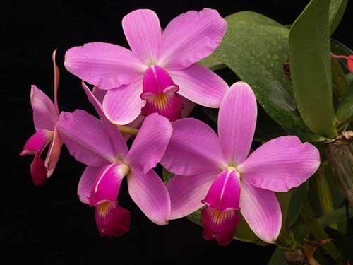Cattleya violacea tipo 'Profusa' x Cattleya violacea tipo 'Redondinha'