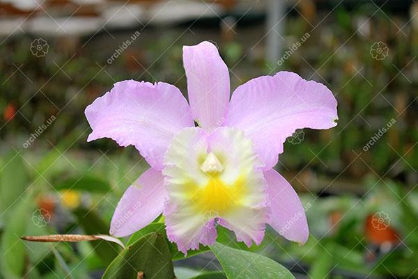 Cattleya walkeriana var alba x Brassocattleya Mount Hood 'Mary'