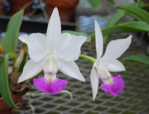 Cattleya walkeriana var. semi alba x walkeriana var. semi alba