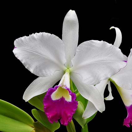 Cattleya warneri alba 'Alvinha' x Cattleya warneri semi alba integra orlata
