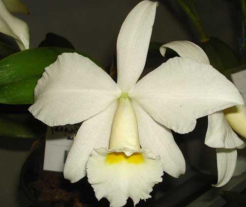 Cattleya warneri alba 'Alvinha' x Laelia praestans alba
