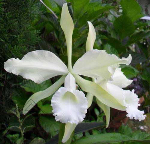 Cattleya warneri alba 'Da. Mercedes' x Laelia tenebrosa albina (DAR)