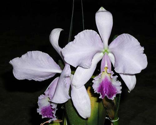 Cattleya warneri coerulea 'Carolina' x SELF
