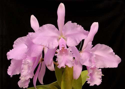 Cattleya warneri concolor x SELF
