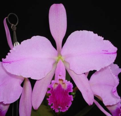 Cattleya warneri integra escura 'AWZ' x Cattleya warneri flameada