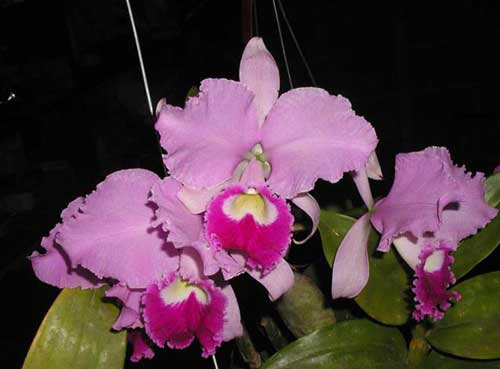 Cattleya warneri integra orlata-pincelada 'Superba' x SELF