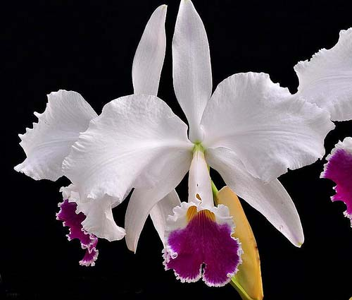 Cattleya warneri semi alba (boa forma) x Cattleya warneri semi alba 'Rubi'