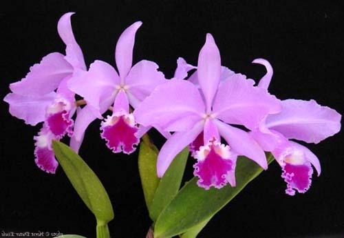 Cattleya warneri tipo 'Maravilha' (escura) x Cattleya warneri integra-orlata 'AWZ'