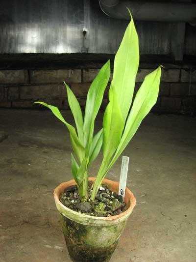 Chaubardiella heteroclita