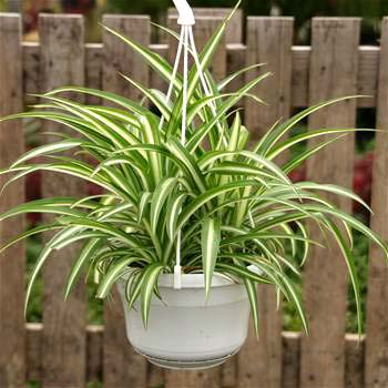Chlorophytum comosum variegate